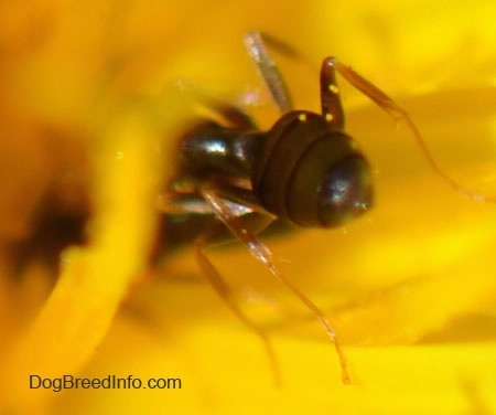 Close up - abdomen of a tiny black ant on a dandelion