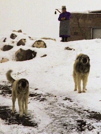 Two adult Armenian Gampr dogs in the snow barking at the person with the camera with a man standing in the background with arms crossed