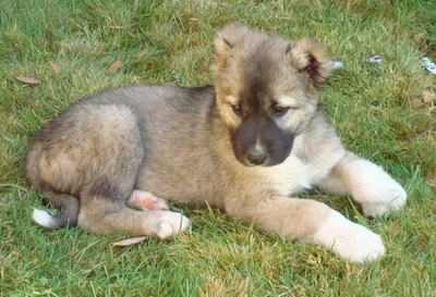 Armenian Gampr puppy laying in grass outside