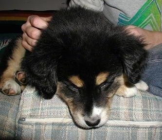 Close up - A black with tan and white Aussie Siberian puppy is laying down on a couch, next to a person that is rubbing it.