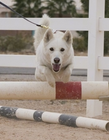 A white Aussie Siberian  isjumping over a bar on an agility obstacle course.