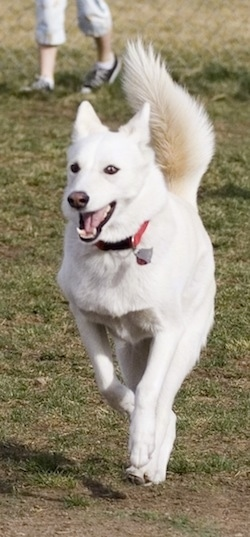 A white Aussie Siberian is running on grass with its mouth open and its tail up.
