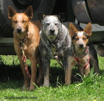 Three Australian Cattle Dogs tied to a pick-up truck outside at a horse rodeo