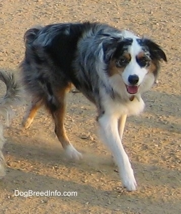 Australian Shepherd is running on dry dirt creating dust with its mouth open