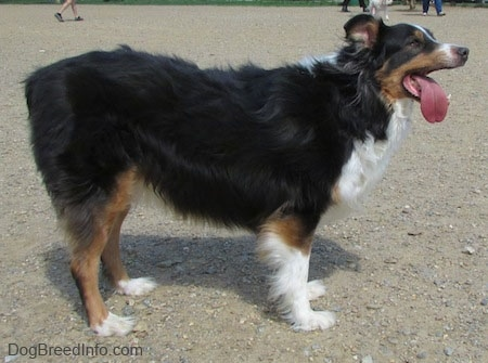 Right Profile - Mickey the Australian Shepherd standing on sandwith its mouth open and its tongue out