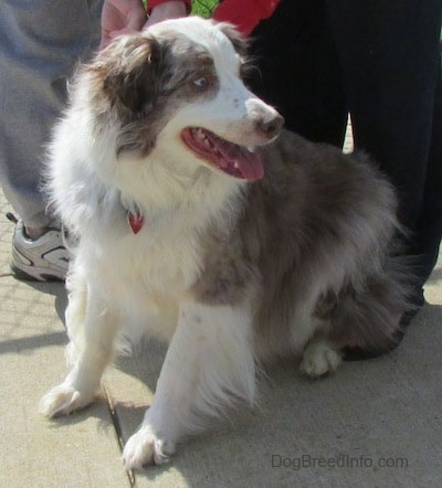 Ravel the Australian Shepherd sitting on concrete looking to the side with people behind it