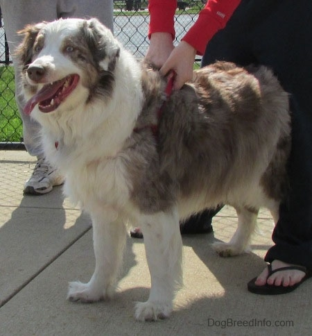 Ravel the Australian Shepherd standing on concrete with a chain link fence in the background and a person holding his harness