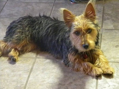 The front right side of a black and tan Australian Yorkshire Terrier that is laying across a tiled floor and it is looking forward.
