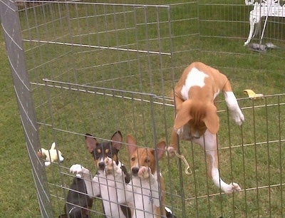 EV the Basenji puppy is climnbing out of an x-pen with other puppies inside