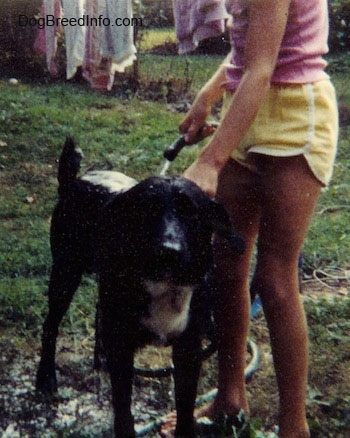 A black with white dog is standing in grass and to the right of it a person is pouring water out of a hose on top of it.