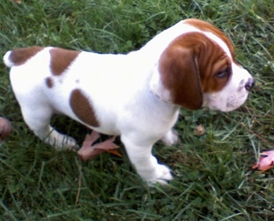 Ollie the Beabull as a small puppy walking on grass