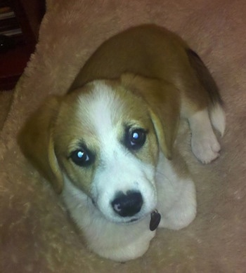 Corgi Puppies on Han Solo Lafarier The Beagle   Corgi Mix As A Puppy