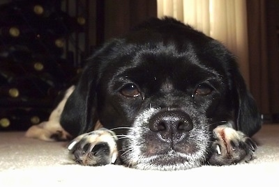 Close Up - A black with white Beagle Chin is laying down on a carpet and it is looking forward.