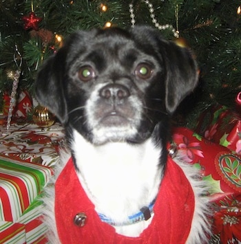 Close up - A black with white Beagle Chin is sitting in front of a Christmas tree and gifts