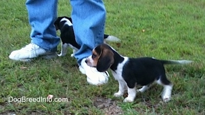 Two Beagle Puppies walking in front of a person