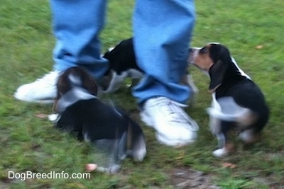 Three Beagle Puppies running around a person