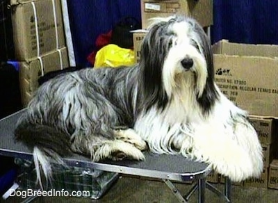 Bearded Collie laying on a table with cardboard boxes in the background