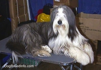 Bearded Collie laying on a table in a room filled with boxes