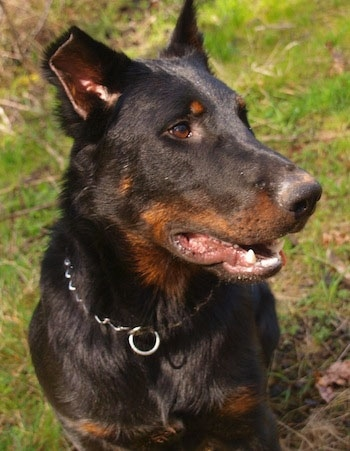 Balder the Beauceron sitting outside with grass in the background and looking to the left with his mouth open