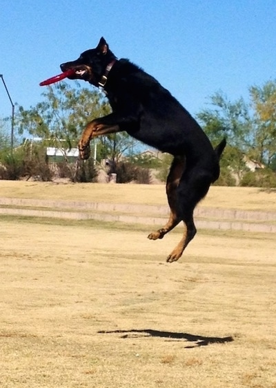 Taz the Beauceron catching a frisbee in mid-air