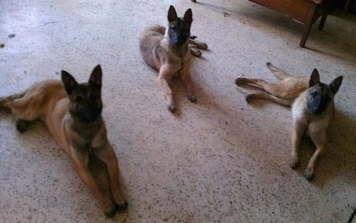 Three tan and black Belgian Malinois dogs laying on the kitchen floor