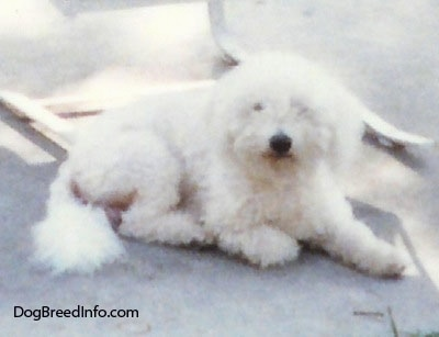Bichon Frise laying outside under a chair