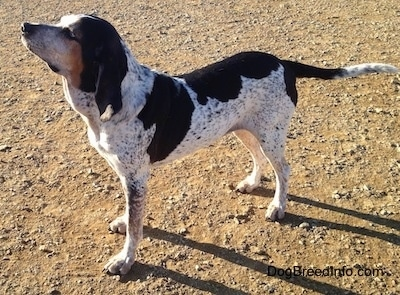 The left side of a white with black Bluetick Coonhound Harrier that is standing across a dirt surface, it is looking up and to the left.