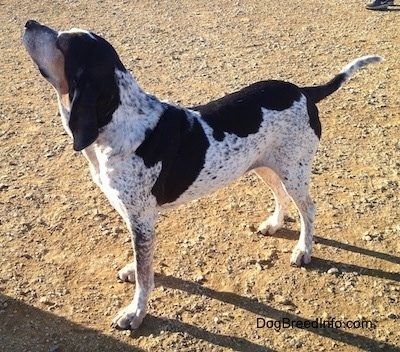 The front left side of a white with black Bluetick Coonhound Harrier that is standing across dirt.