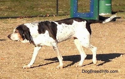 The left side of a white with black Bluetick Coonhound Harrier that is walking across dirt. There is a green trashcan behind it.