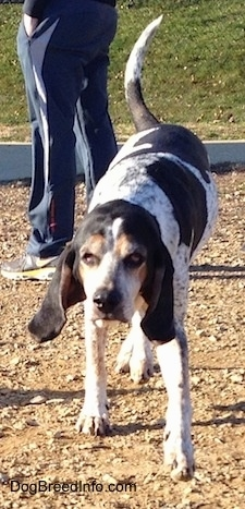 A white with black Bluetick Coonhound Harrier is walking on dirt, its head is down and its tail is up. There is a person standing behind it.
