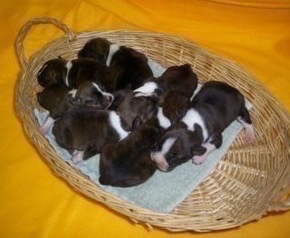 Seven Bo-Jack Puppies in a wicker basket