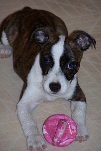 The front right side of a brown with white Bo-Jack puppy that is laying across a tiled floor with a dog toy in between its paws.