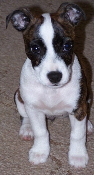 boston terrier jack russell bo jack dog breed information and pictures 4308