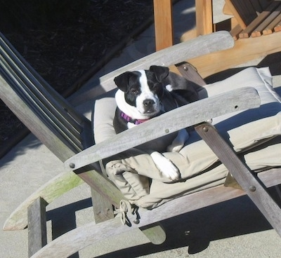 Molly Moo the Bo-Jack laying down in a beach chair