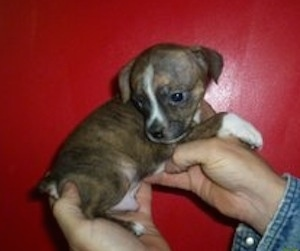 Boston Terrier / Jack Russell Terrier hybrid puppy (Bo-Jacks). Courtesy of D&D's Kennel - Debbie Snyder & Doug Smoot, owners.