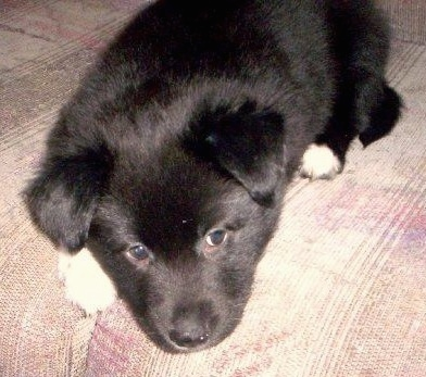 Evie the Border Collie / Pitbull Terrier hybrid dog as a puppy