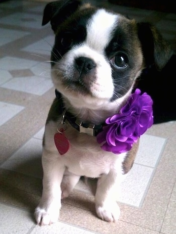 Close Up - Quinn the Boston Chin sitting on a tiled floor in the kitchen with a fake purple flower in its collar