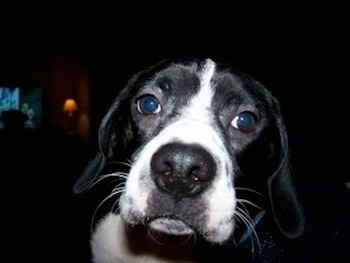 Close Up - The face of a black with white Boston Spaniel that is looking forward.