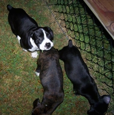 Junior the Boston Spaniel with this littermates
