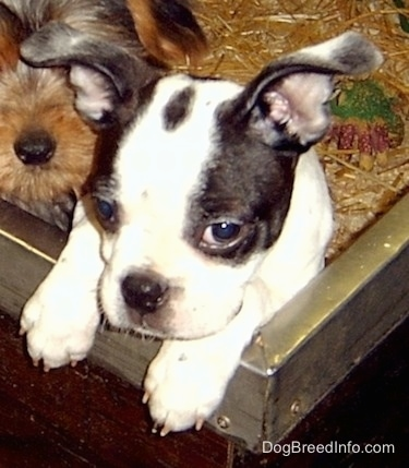 Boston Terrier puppy jumped up against the edge of a dog pen