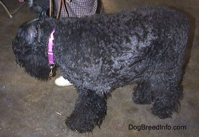Side view of an adult Bouvier des Flandres standing on a floor looking into the distance