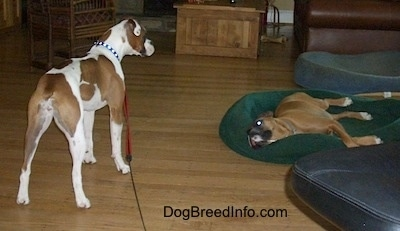 The back right side of a white with brown Boxer that is standing and looking at a brown boxer that is laying on a green dog bed.