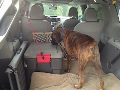 Bruno the Boxer standing in the back of a van on a dog bed