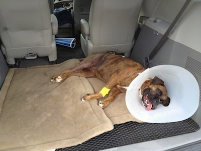 Bruno the Boxer laying in the back of a van with a cone on his neck and his tongue out