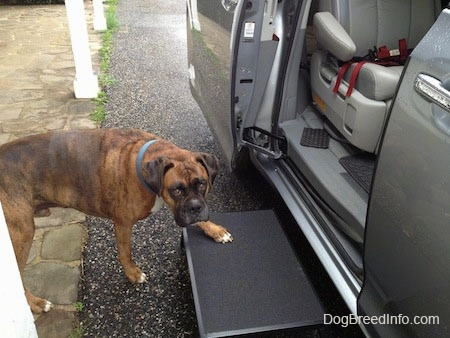Bruno the Boxer using a metal step to get into the van