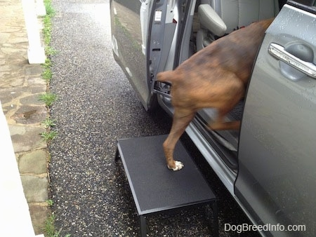 Bruno the Boxer stepping inside of a van