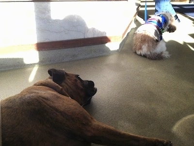 Bruno the Boxer laying on the floor of an oncologist office