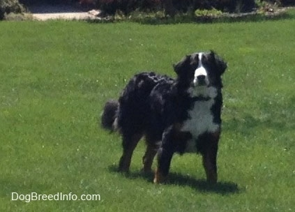 Bernese Mountain Dog standing in a field