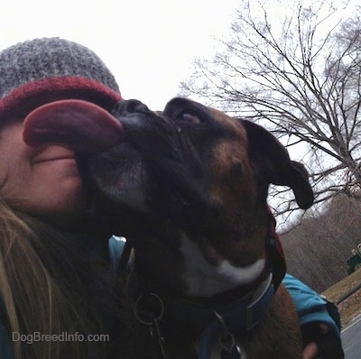 Bruno the Boxer licking at the face of his owner