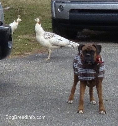 Bruno the Boxer wearing a jacket standing on a blacktop, with peahen birds in the background